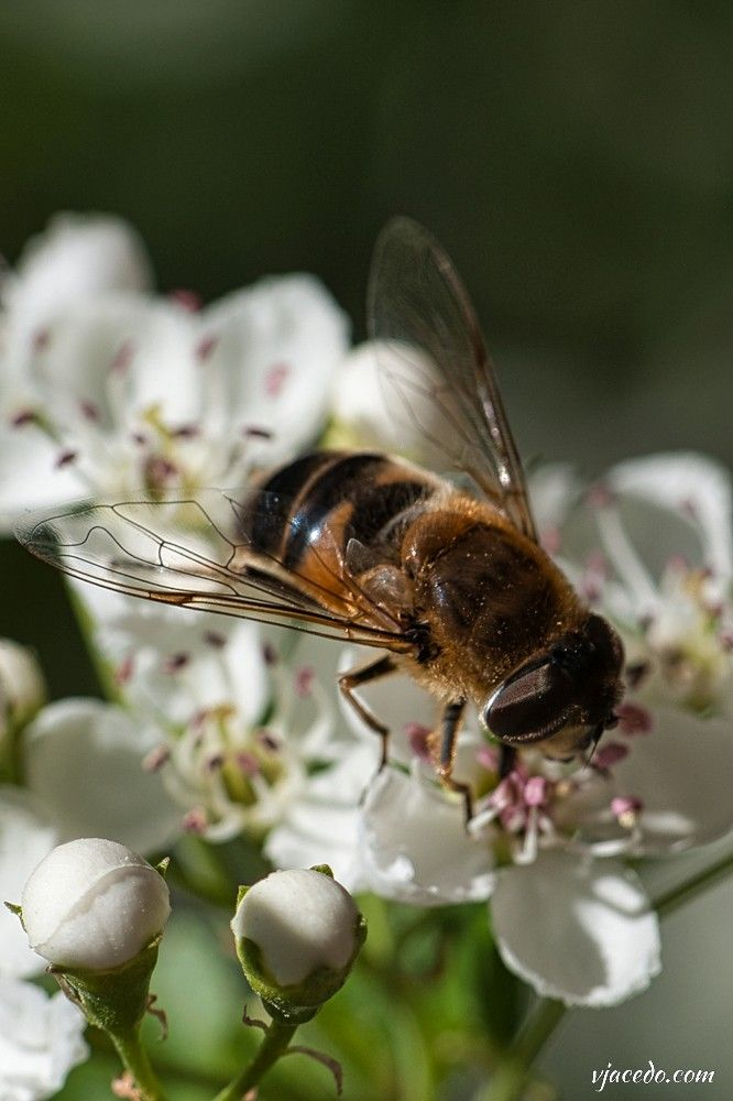 Abeja española (Apis mellifera iberica)