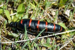 Aceitera común (Berberomeloe majalis)