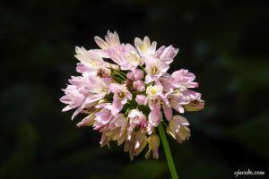 Ajo de brujas (Allium roseum)