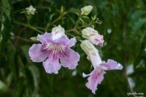 Arbusto de Pandora (Podranea ricasoliana)