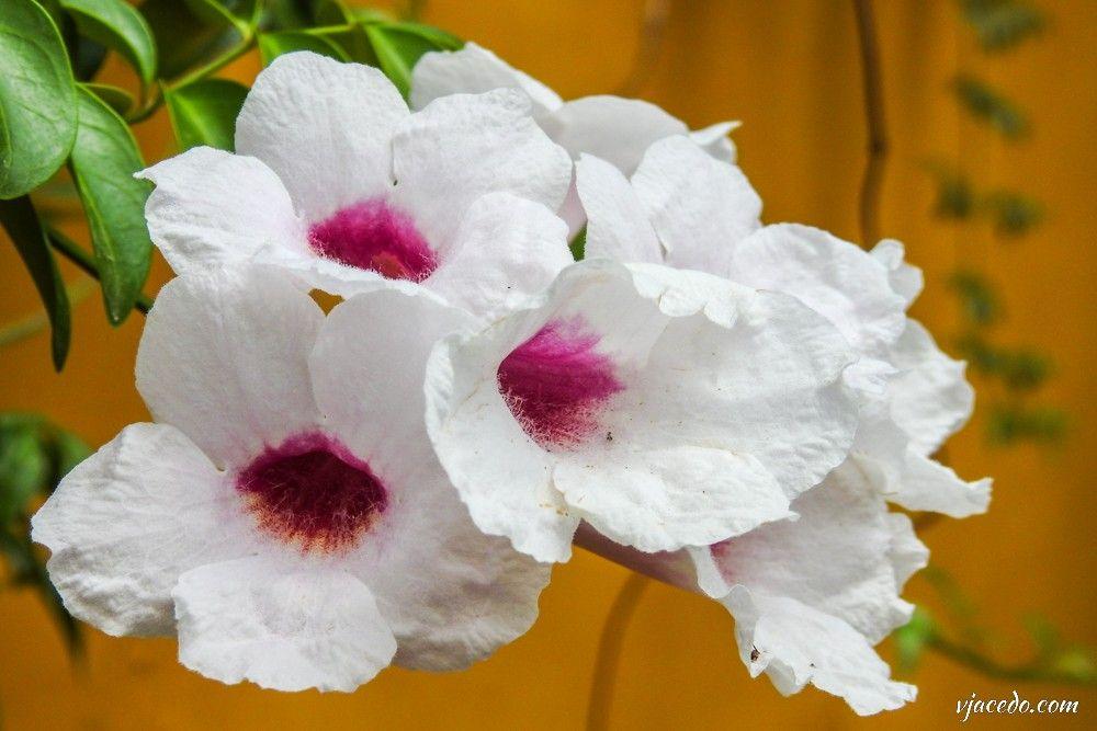 Bignonia blanca (Pandorea jasminoides)