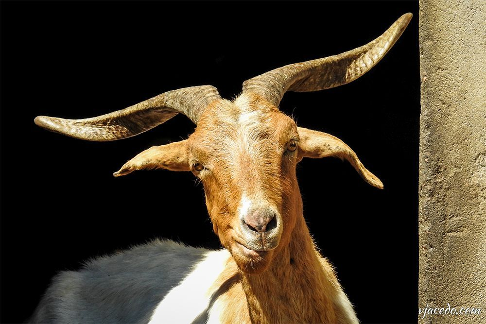 Cabra común macho