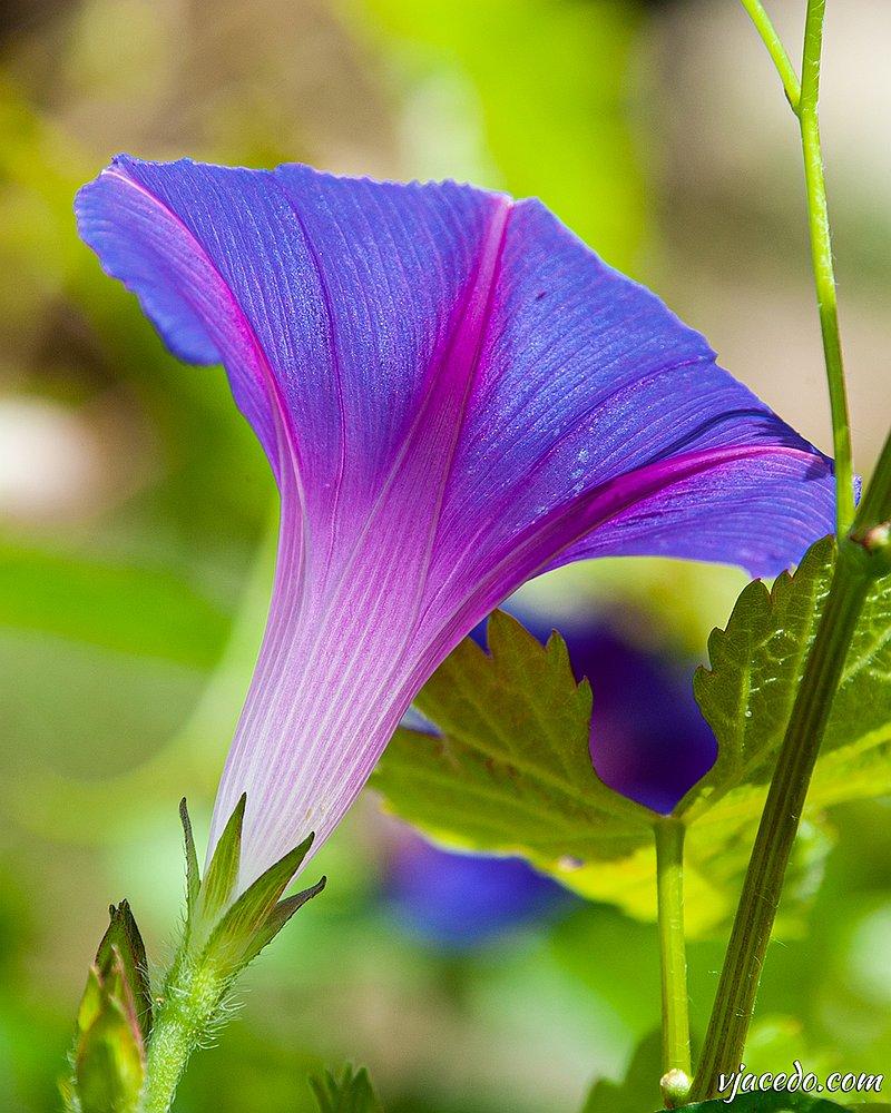 Campanilla morada (Ipomoea purpurea)
