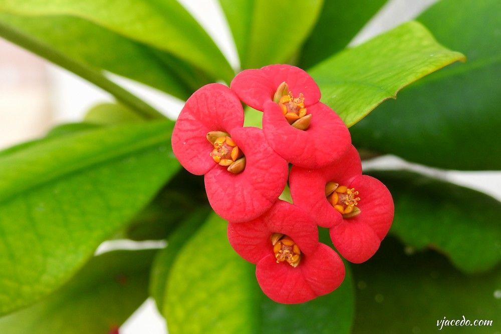 Corona de Cristo (Euphorbia milii)
