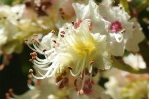 Detalle de una flor de castaño