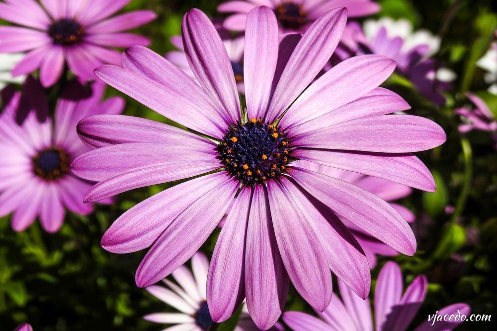 Dimorphoteca color lila