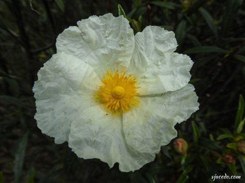Flor de jara