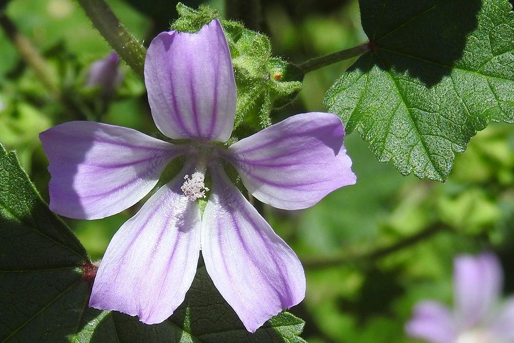 Flor de malva silvestre