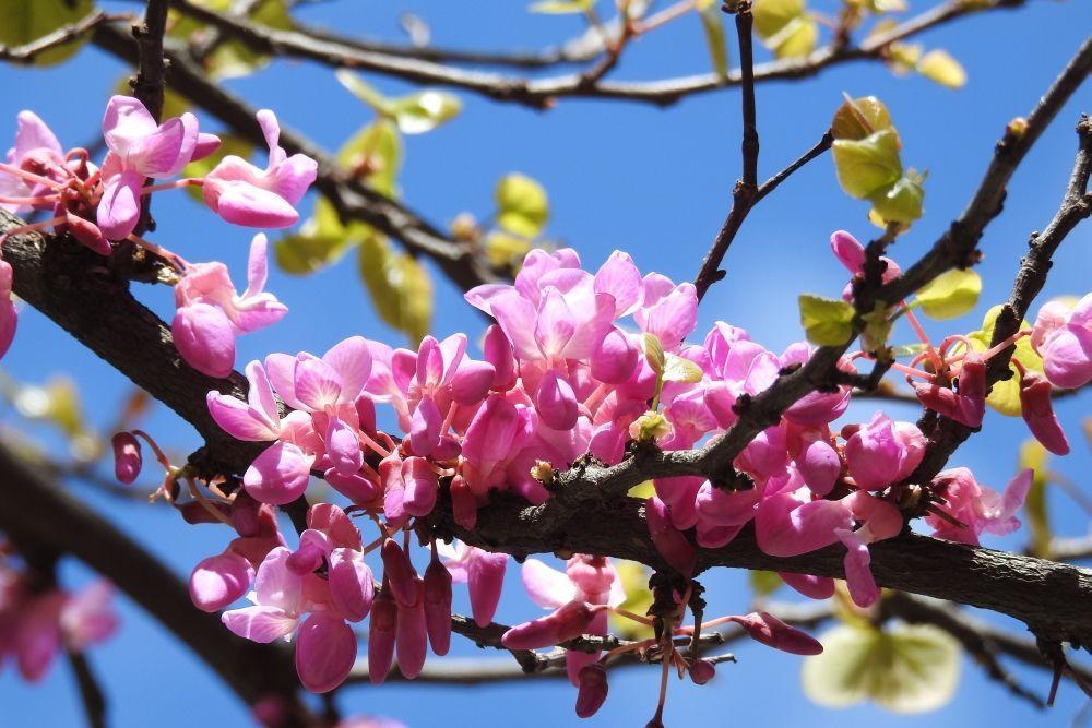 Flor de pruno
