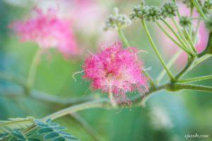 Flor del árbol de la seda