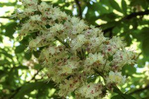 Flor del castaño de Indias (Aesculus hippocastanum)