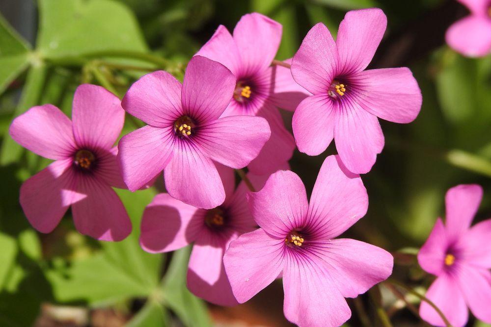 Flor del trébol (Oxalis articulata)