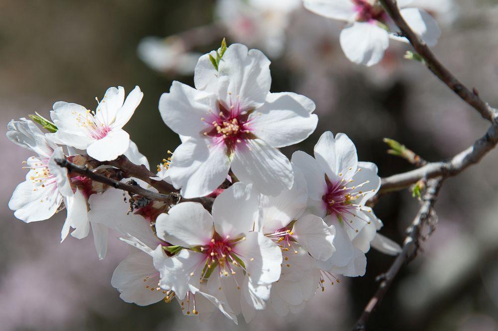 Flores de almendro (V)