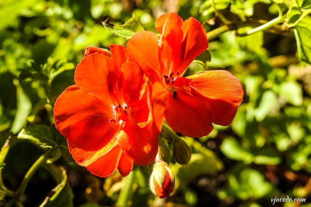 Geranio escarlata (Pelargonium inquinans)