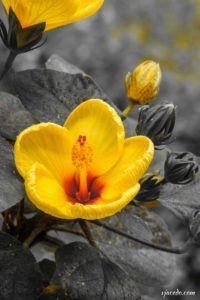 Hibisco amarillo (Hibiscus)