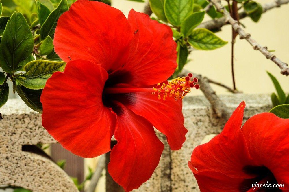 Hibisco rojo (Hibiscus)