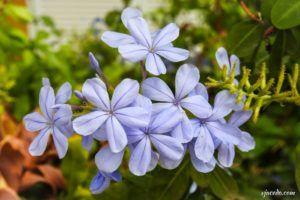 Jazmín azul (Plumbago auriculata)
