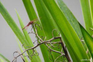 Libélula escarlata ancha (Crocothemis erythraea)