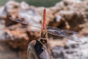 Libélula flecha roja (Sympetrum striolatum)