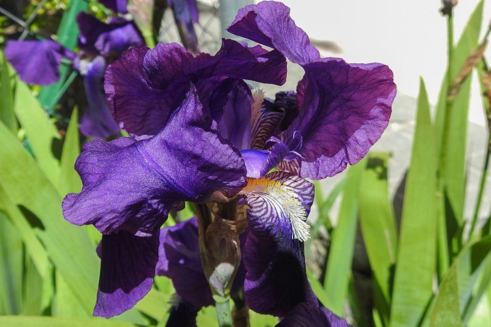 Lirio morado (Iris germanica)
