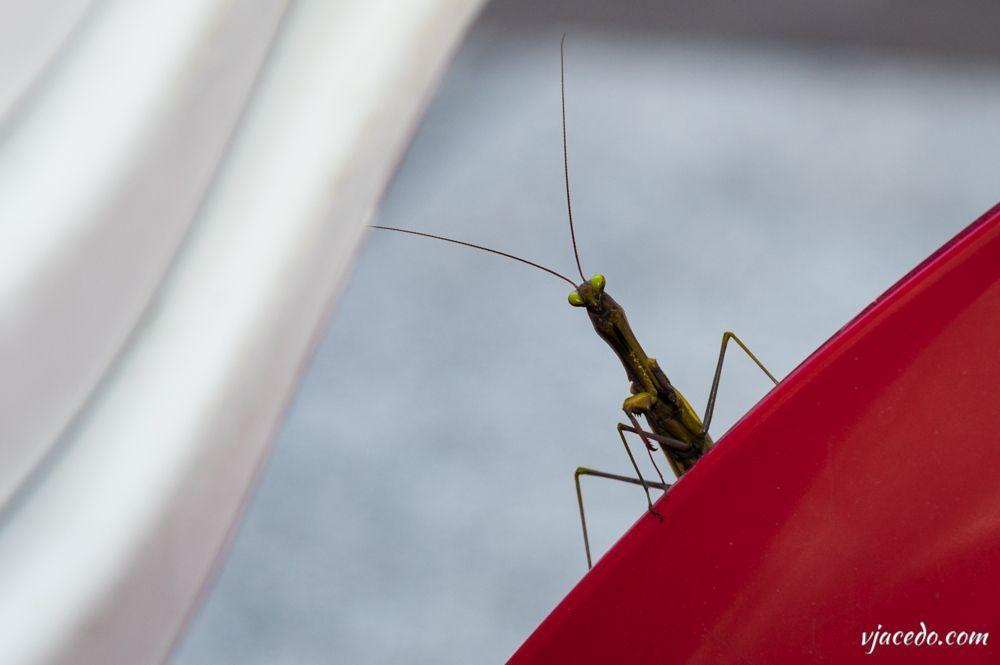 Mantis posando