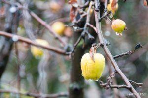 Manzana en diciembre