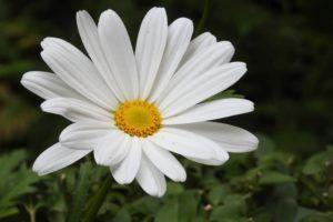 Margaritón (Leucanthemun vulgare)