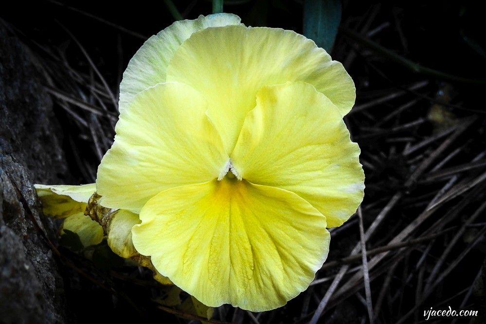 Pensamiento amarillo (Viola x wittrockiana)