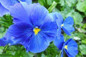 Pensamiento azul (Viola tricolor)