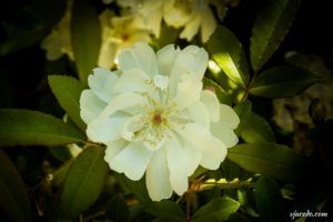 Rosa de campo (Rosa arvensis)